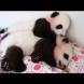 Докато едното бебе Панда спи, другото ревниво го събужда