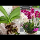 Пластмасата убива корените на орхидеята - ето в какво трябва да я пресадите, за да започне да цъфти: