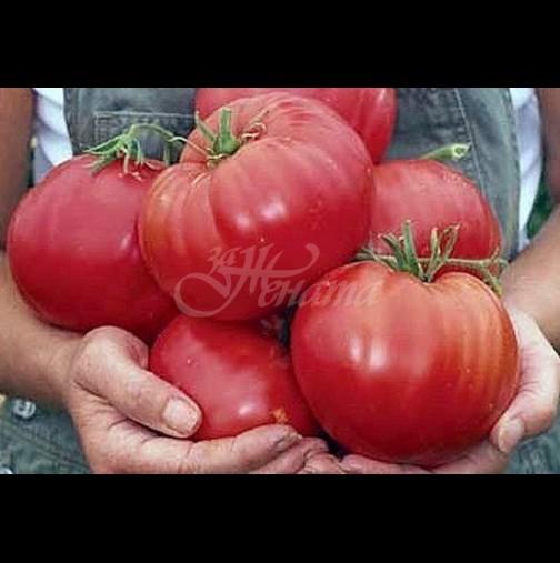 За да станат доматите едри и да не се напукват при зреенето, се поливат с този разтвор: