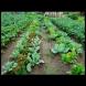 Най-добрите съседи по леха: хем реколтата е богата, хем се пазят взаимно от вредители