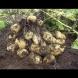 Как от 20 корена да изкарате 40 кофи с картофи: китайският метод е реален и работи на 100%