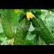 Средство срещу ужасното заболяване на краставиците-брашнеста мана