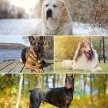 Зодиите приличат на различните породи кучета-Козирог-Немска овчарка, Водолей – Джак Ръсел Териер