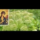 Божествената билка на Архангел Михаил за лечение на бронхит и възпаление на белите дробове