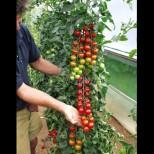 Вместо да ги купувам за 6 лв килото, си ги гледам у дома - чери доматчетата искат малко място, а се отплащат с много плод: