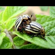 Колорадският бръмбар няма и да подуши картофите, ако ги поръсите с това изпитано средство: