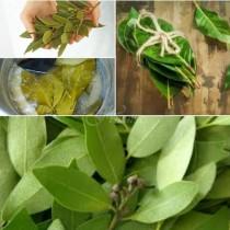 Дафинов лист срещу разширени вени