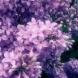 Чупим лилавите дъхави клонки, за да го слагаме за красота в дома си, а колко болежки лекува люляка-Ето няколко рецепти