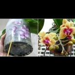 Най-лесният метод за поливане на орхидеи - няма какво да объркате, а орхидеята ще цъфти по-обилно отпреди:
