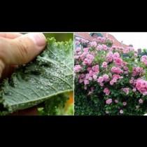 1 чаша от тази напитка, разтворена в кофа вода, чисти листните въшки и кара розите да полудеят от цвят: