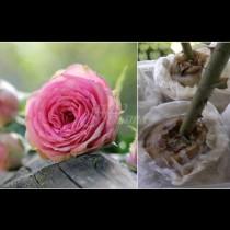 Първо се пробива дупка, а след това се пъха стъблото - единственият метод за захващане на рози, който наистина работи: