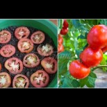 Как да си отгледаме домати от резен - методът на мързеливите градинари дава първите филизи след седмица (Снимки):