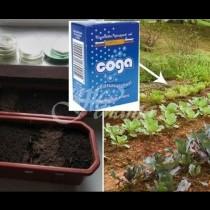 Содата бикарбонат-Верен помощник в градината-Има ли гъсеници-сода, сива плесен-сода-Ето колко добрини ще в направи