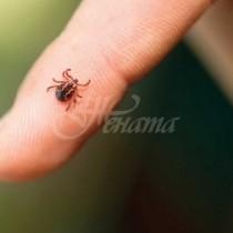 Бум на бълхи и кърлежи-Увеличен брой заразени от лаймска болест