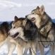 Датски учен снима как кучетата от впряга му бягат по вода