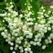 Ползите от цветето, появило се от сълзите на Света Богородица
