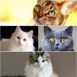 Котката, която ви подхожда според зодията-Лъв-Мейн Кун, Дева-Бенгалска котка