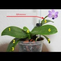 Как да събудим орхидеята и да я накараме да цъфне - 9 лесни правила за целогодишен цъфтеж: