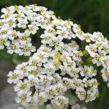 Лечебно растение с цветове, които помагат срещу нередовна менструация, болки в яйчниците и симптоми на менопауза