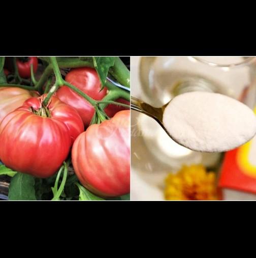 1 лъжичка във водата за поливане и доматите стават по-сладки и сочни, а клонките се превиват от плод:
