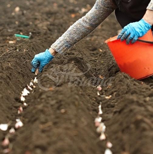 Опитен агроном ми показа как се засажда зимен чесън-Първо се правят лехи и се слага меден сулфат