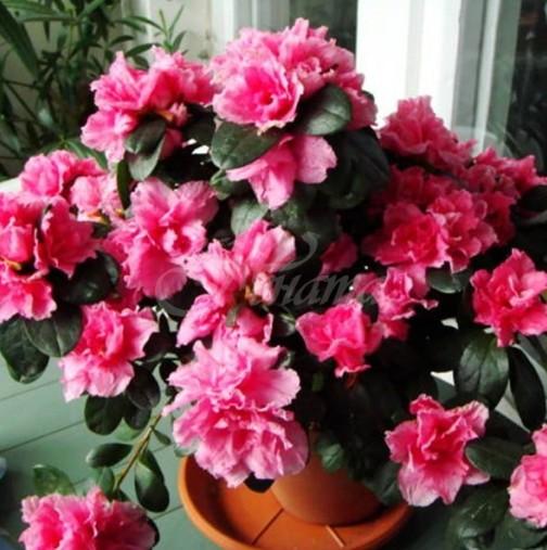 Отглеждаме в дома си убийци-Често им се радваме, но понякога контактът с тези растения може да бъде фатален