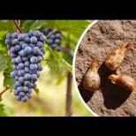 В малките зрънца дреме цяла природна аптека - ето как правилно да използваме семките на гроздето: