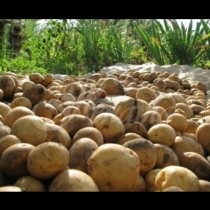 Как парвилно да запазим картофите за зимата