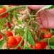 Ето защо не бива да се държат доматите в хладилник