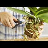"""Защо корените на орхидеята """"изскачат"""" от саксията и какво да правите с нея"""
