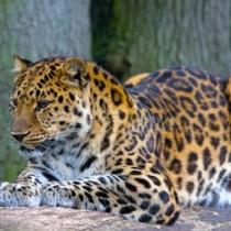 Снимка на леопард, който се е прикрил сред скалите предизвика всички да го търсят
