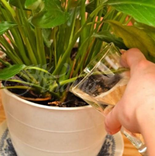 Всички цветя у нас ги поливам с една чаша от тайния ми елексир и у нас е като джунгла, всичко вирее