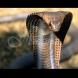 Огромна кралска кобра пропълзя в селото и поиска помощ