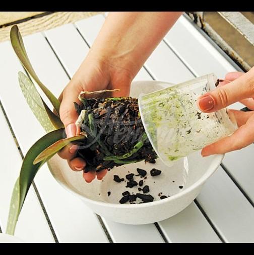 КОГА и КАК да пресадите орхидея у дома? /СНИМКИ/
