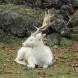 Щастлива поличба! Бял елен слезе от планината в Карловско!