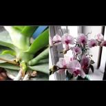 Насила хубост не става, но и най-упоритата орхидея се отрупва в пищен цвят с тази екстремна стимулация: