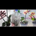 Как да си отгледаме бебе-орхидея в бутилка - най-лесният метод без хормонални пасти: