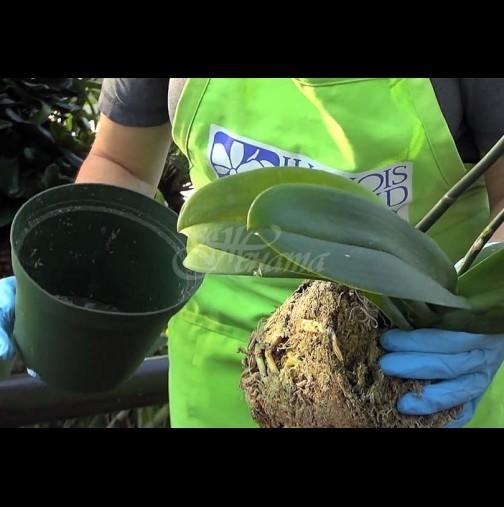 Полудяват от цъфтеж през цялата година: ТРИТЕ правила за поливане на орхидеи