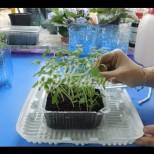 Супер метод за приготвяне на разсад за домати-расте 2 пъти по-бързо от обикновения начин