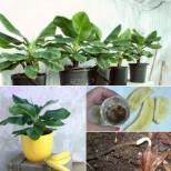 Вече и банани няма да купувам! Сама ще си ги отглеждам-Банани-джуджета у дома-И да не дадат плод-Красиво цвете ще ги наричам!