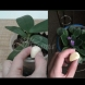 Защо поставям скилидка чесън в саксията със стайни растения? Цветята ми полудяха, а орхидеите ми не спират да цъфтят!