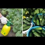 Лесна за приготвяне захранка за краставици-Няма да смогвате да ги оберете!