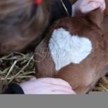 Ето какво теленце се роди на 14 февруари!