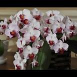 5 домашни торове, с които орхидеите ми пощуряха от цъфтеж. Вече няма как и опорна пръчка да им сложа, така са натежали от цвят!