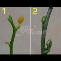Защо окапват пъпките на орхидеята и как да спасите цъфтежа? Ето какво да направите: