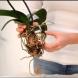6те грешки, които правите в грижата за орхидеи и те умират! Особено третата ви гарантира бавна смърт на орхидеята.