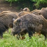 Диви прасета изядоха 4-годишно дете
