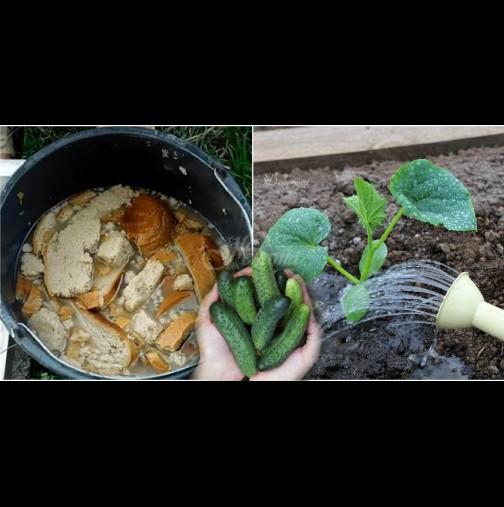 Така подхранва краставиците дядо, за да не жълтеят листата и да има урожай до късна есен: