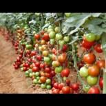 Универсален тор за подхранване - 3 пъти на сезон и доматите се отрупват с плод!