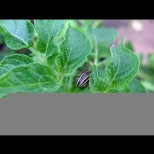 Как да се справим с колорадски бръмбар-Бяга от кортофите и не се връща повече!
